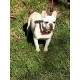 Machito Bulldog Frances Crema