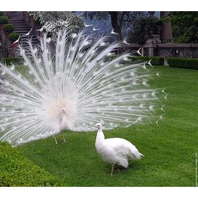 Ovos De Pavão Branco - A Mais Bela Ave Do Mundo | Reserva