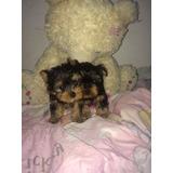 Hembra Yorky Yorkie Shire Terrier Super Mini Plata 100 Pura