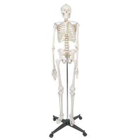 Esqueleto Humano Modelo Anatomico 1.8m Envio Rapido Gratis!!