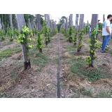 Mangueira Irrigação Microperfurada Aspersão Pimenta Do Reino