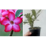 Rosa Do Deserto Adenium Obesum Pré Adulta