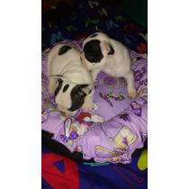 Bulldog Frances Cachorros De Calidad Hembras