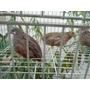Codorna Chinesa -ovos Galados Compre 12 Leve 15 Ovos-