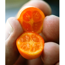 Frutales:naranja Japonesa Injerto Fortunella Japonica