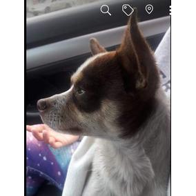 Chihuahua Macho En Adopción