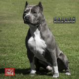 American Staffordshire Terrier Azules Amstaff No Pit / Bully
