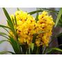 Muda De Orquídea Cymbidium Amarelo - 10 A 15cm - Promoção!