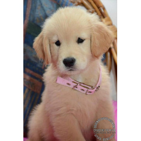 Hembritas Golden Retriever Hermosas Y Puras Criadero Premium