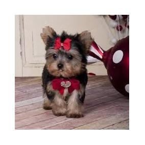 Bebês De Yorkshire Terrier Disponível Machos.
