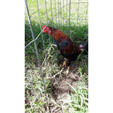 Vendo Pollo Asil Puro Para Cria