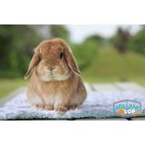 Conejos Enanos Mini Auténticos Holland Lop 100% Raza Puros