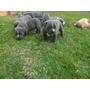 Filhotes De American Staffordshire Terrier (blue Nose)