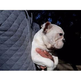 Bulldog Ingles Con Pedigree Fca Hembra
