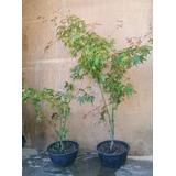 2 Maples De Japon + Arbol De Jupiter, Promocion