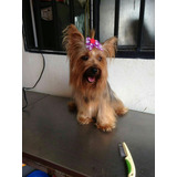 Yorkie Adulta Hermosa Mini Manto Plata Pelo Largo Vendo