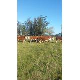 Novillos Terneros Hereford Pampas