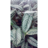 Planta Calathea Grande Hermosa Envíos Ísiflor