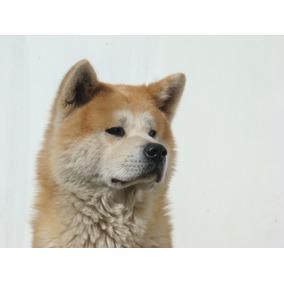 Servicio Monta - Akita Inu Campeón Macho Rojo