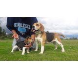 Vendo Exelentes Ejemplares Beagle Envíos A Todo El País Ta.