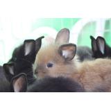 Conejos Cabeza Leon Cinamon Doble Pelo Envio Gratis