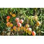 Árboles De Mango - Injertados - Tres Años - Cañuelas