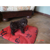 Caniche Mini Toy Hembra Chocolate De Verdad!! $ 5800,00-