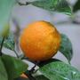Mudas De Limão Cravo - Enxertadas - Produz Em Até 1 Ano