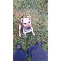 Hermoso Cachorro Cruza De Pastor En Adopcion 2 Meses