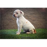 Bulldog Americano - Fêmea