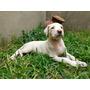 Dogo Argentino - Cachorra.