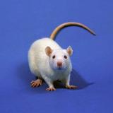 Rata Albina Roedor Ratón Mascota Hámster Terrario Reptil