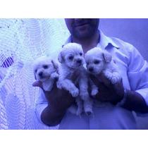 Filhotes De Poodle Micro Toy Vacinado Vermifugado