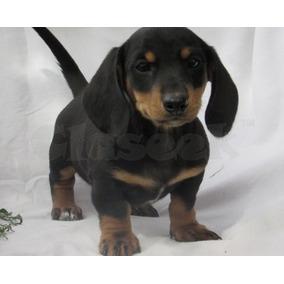 Cachorros Dachshunds Macho Y Hembra Para Adopción