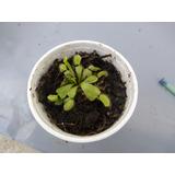 Venus Atrapamoscas , Envío Gratis, Planta Carnívora