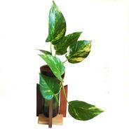 Scindapsus Little Plant 24 Con Soporte The Little Yisus