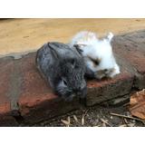 Conejos Enanos Holland Lop-orejas Caídas Córdoba Cap