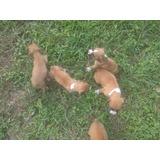 Cachorritos Boxer