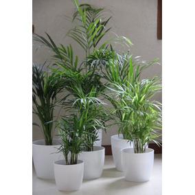 Palmera Areca Planta Interior Balcon - Decora Con Verde!