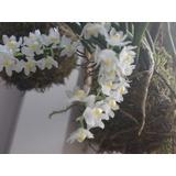 Micro Orquidea Capanemia Superflua
