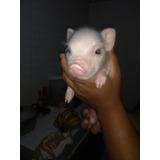 Micro Mini Pig A La Venta