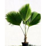 Mudas Da Palmeira Leque De Fiji: 3,50 R$! Grátis Brinde!