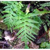Planta De Polypodium Helecho Interior Tierra Maceta Vivero