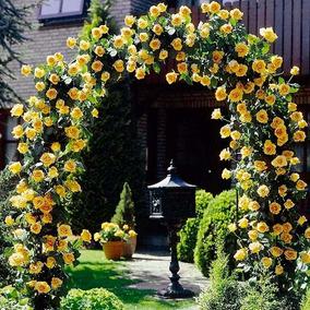 Rosa Trepadeira Amarela Golden Shower Sementes Flor P/ Mudas