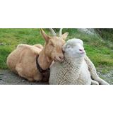 Criação De Ovelhas E Cabras Video E Apostilas