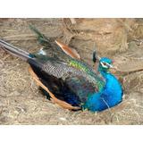 Pavo Real Azul Macho 2 Años Y Medio. Aves Exóticas