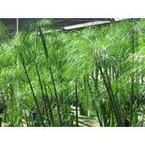 Planta De Papiro, Cyperus Papyrus, Papiro De Egipto!