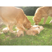 Golden Cachorros