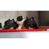 Bulldog Frances Macho Vaquita Criadero Ilmioaziendamascotas