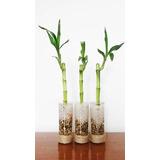 Souvenir Recuerdo Para Eventos / Matrimonio Lucky Bamboo